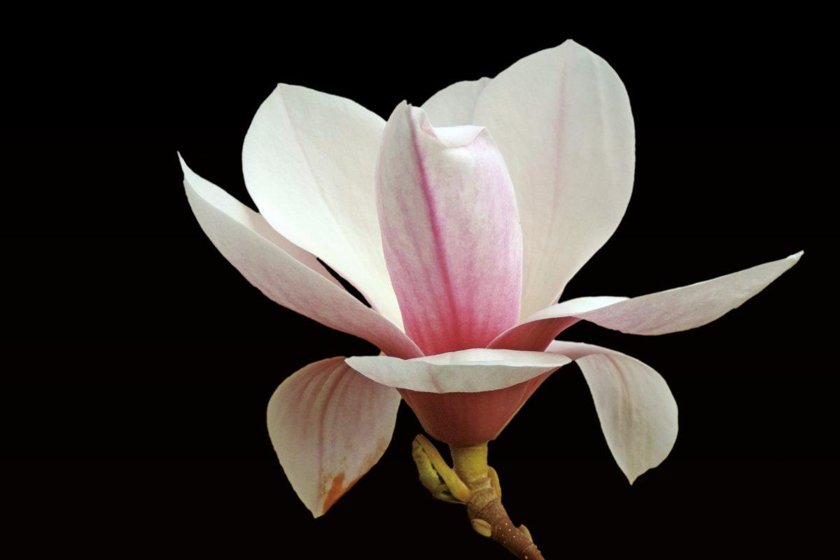 Magnolia: storia e significato